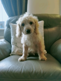 Gorgeous F1 cockerpoo puppy
