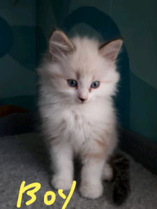 Pure breed Ragdoll kittens.