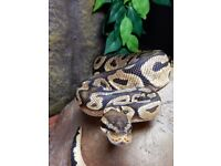 Stunning Male Pastel Royal Python with Complete Setup