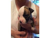 American Bulldog/Staffie puppies for sale