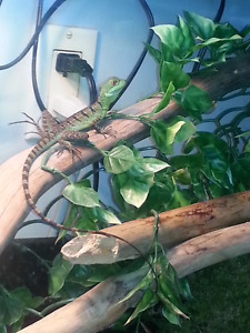 Green Basilisk for sale(can run on top of water)
