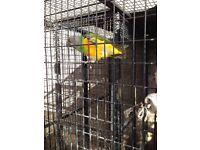 Male Senegal parrot for sale