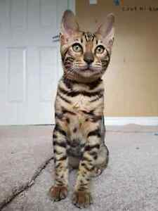 Bengal kittens ( hypoallergenic, no shedding, intelligent