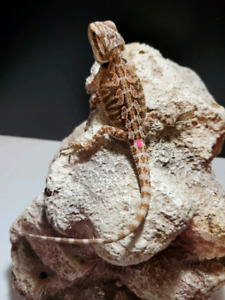 Bearded Dragon   Reptiles and Amphibians in British Columbia
