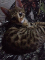 Looking for a Bengal Kitten