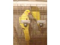 Lutino Indian Ringneck Pair Excellent condition close rung