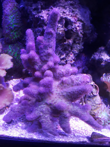Saltwater Coral Green Button Polyps & Leathers