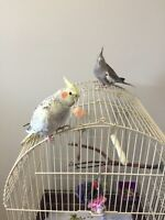 2 cockateils and cage