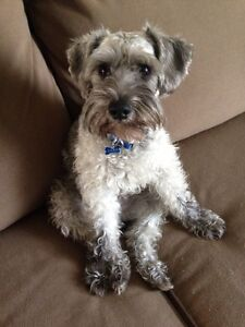 Wanted !! Schnoodle or schnauzer !!!