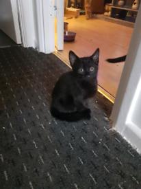 Beautiful black male kitten