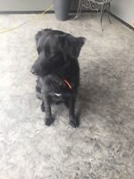 FREE Collie/Lab cross looking for new home