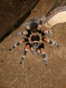 Tarantula's for sale