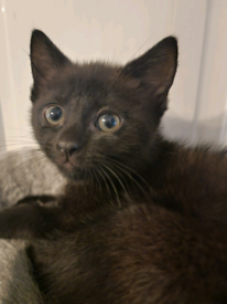 Black Ragdoll mix kitten