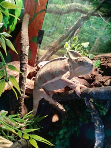 Veiled Chameleon with fogger  mister complete enclosure $250