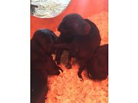 Spratterdale Puppies For Sale