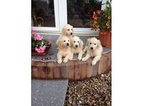 Golden retriever pup's