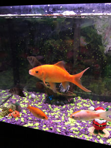 Gold Fish and Algy sucker