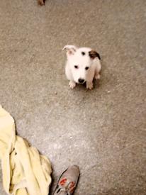 Labrador collie