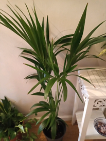 Stunning live indoor Kentia palm, collect London SE16