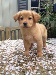 Golden Retriever x Chow Puppies
