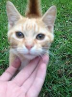 Beautiful orange tabby to a good home