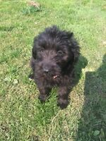 Medium Labradoodle puppies low shed allergy friendly