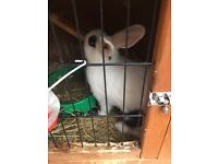2 female rabbits £40 for both