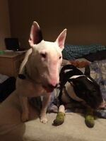 3&7yr old bull terriers white female tri color male