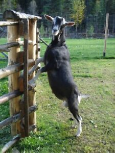 Diary Goats.  UPDATES