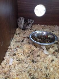 Stunning baby Syrian,dwarf hamsters and gerbils