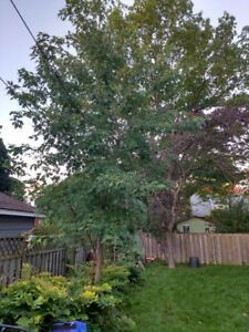 Maple tree about 20' tall