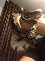 Selling normal ball python