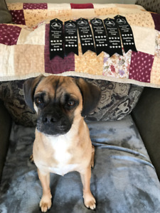 2 year old puggle for sale
