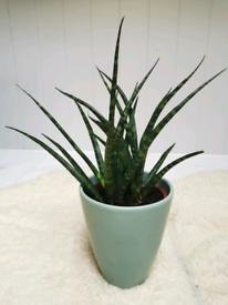 Sansevieria fern Wood plant