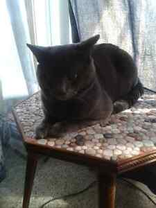 Found Male Grey Cat in Smiths Falls