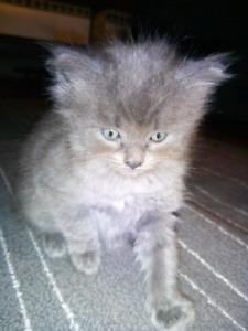 Part ragdoll part persian male kitten