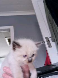 Ragdoll kittens only 4 left