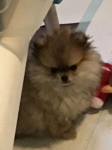 CKC Registered Pomeranian Puppies - Two females