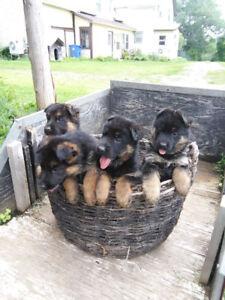German Shepherd Puppies ForSale