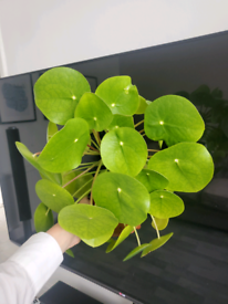 Chinese money tree, indoor plant