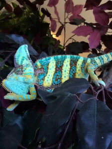 Beautiful and exotic chameleons for sale