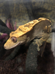 Crested Gecko Flame Harlequin with Tail - 1.5 year Male