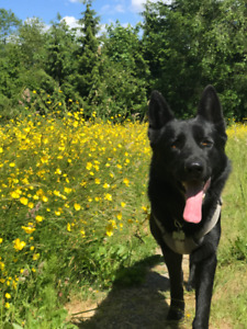 Rehoming purebred German Shepherd