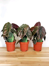 Unusual Metallic leaves Alocasia Red secret tropical houseplant indoor