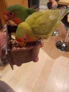 Male and female 5 months old love birds