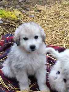 Great Pyrenees/Maremma