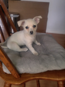 Female Chihuahua puppies for sale