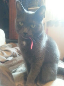 LOST FEMALE CAT GRAY/GREY CAT - CUMBERLAND/SANFORD AREA