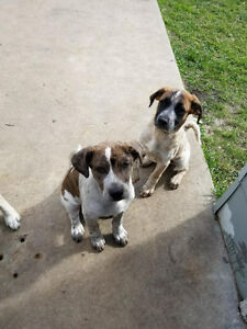 3 Catahoula x Mastiff Puppies Looking for their Forever Homes!
