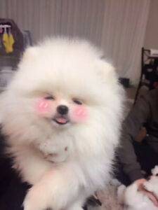 ❤Extremely fluffy! White teacup Pomeranian puppies!